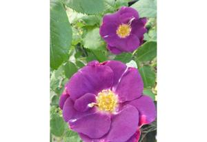 Rosier arbustif Rhapsody in Blue® Frantasia