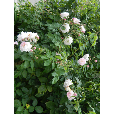 Rosier grimpant Blush Noisette