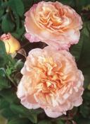 Rosier buisson Fox Trot® Tangust
