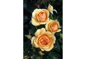 Rosier buisson Amber Queen® Harroony