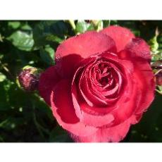 Rosier buisson Rosemantic Red® Nirpren