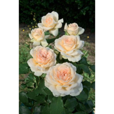 Rosier buisson Sweet Love® Harmisty