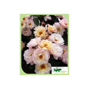 Rosier arbustif Rock'n'Rose® Adafitalu