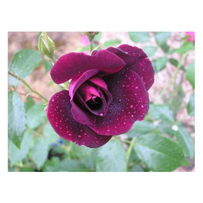 Rosier arbustif Purple Star® Panstar