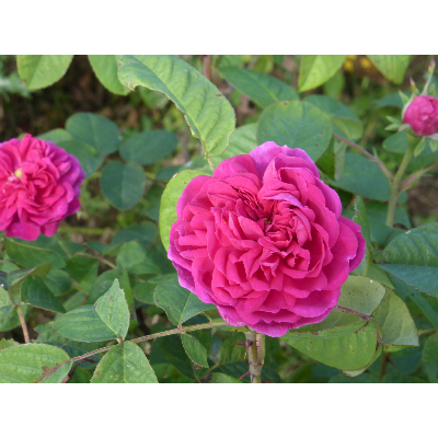 Rosier buisson Rose de Resht